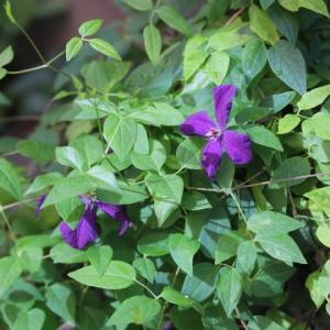 クレマチスの2番花とルシエルブルーとジュビリーセレブレーション