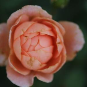 初めて咲いたピエールエルメとプリンセスヴェール