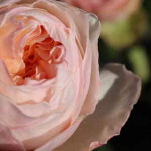 ジュリエット、ロマンティックレース、今日のクリロ、春のアイスバーグ