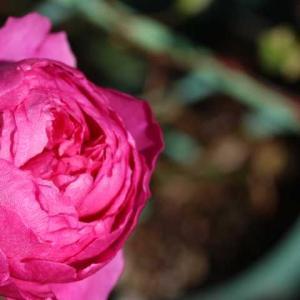 ウィズリー、今日のクリロ、春のかおりかざり