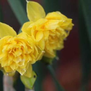 水仙が咲いた、今日のクリロ、春のプリンセスシビルドルクセンブルグ