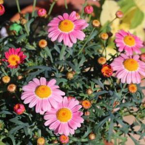 マーガレットの寄せ植え、今日のクリスマスローズ、春のメアリーローズ