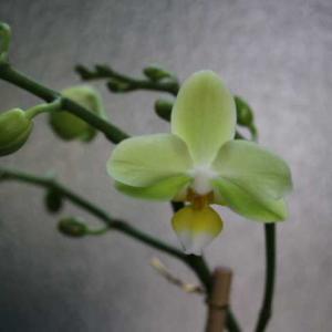 ミニ胡蝶蘭の開花と今日のクリスマスローズ、春のラレーヌビクトリア