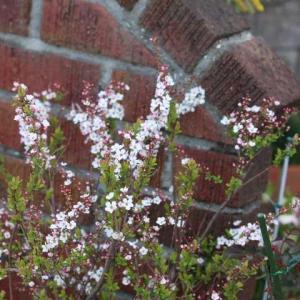 庭桜、今日のクリスマスローズ、春のジュビリーセレブレーション