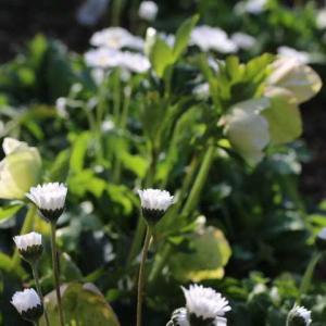 地植えの白いクリスマスローズ、春のボレロ