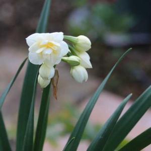 水仙とムスカリ、今日のクリスマスローズ、春のルシエルブルー