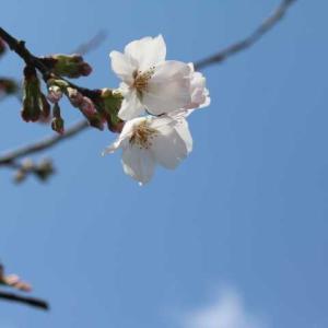 桜の開花、バラの新芽、春のプリティレディ