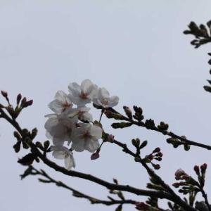 ハナニラとムスカリ、今日のクリスマスローズ、春のローブアラフランセーズ
