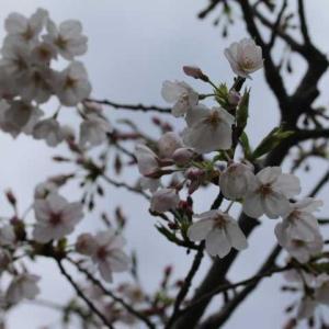 庭の小道、今年初バラ?、春のディスタントドラムス