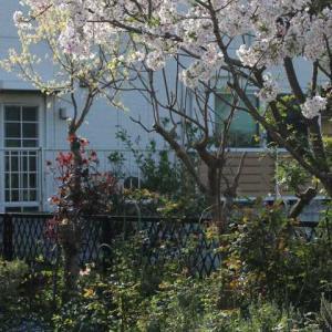 庭の白い花たち、桜満開、春のアメジストバビロン