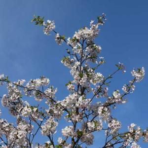 庭の春 開花したラフランス
