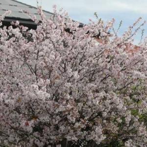 アリウム、こでまり、春のエリザベススチュワート
