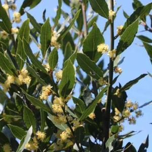 月桂樹の花、マーガレット、黄モッコウバラの開花