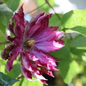 バラが次々に・・・ノヴァーリス、ルブラン、モリニュー、アイズフォユー、