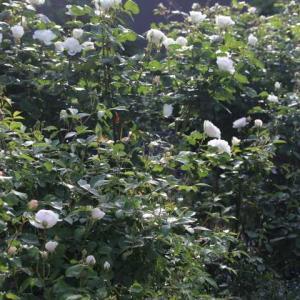 強風でバラがバラバラ・・・クラウンプリンセスマルガリータ、シュー・ラ・ネージュ、ウィズリー