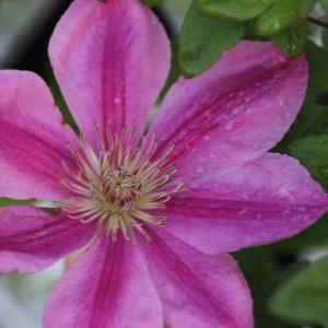 クレマチスとバラが元気です。