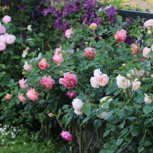 東側の花壇のクレマチスとバラ