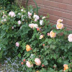 玄関の左わきの花壇のイングリッシュローズ