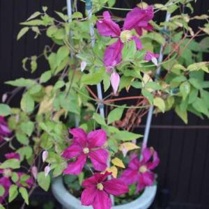 クレマチスと玄関左側花壇のリッチフィールドエンジェルとピルグリム