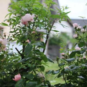 遅めに咲いたバラたち・・・マダムフィガロ、シンデレラ、ヘリテージ