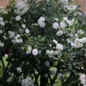 バラの季節の終わりに咲くアルバメイデイランド、ポールズヒマラヤンムスク