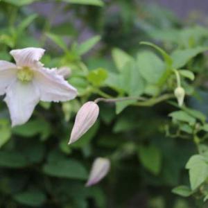 今咲いてるバラ プリンセスヴェール、シャルム、ギードゥモーパッサン