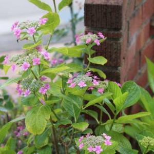 今咲いてるバラはイングリッシュローズが多い! アンブリッジローズ、ストロベリーヒル、ウォラトンオールドホール