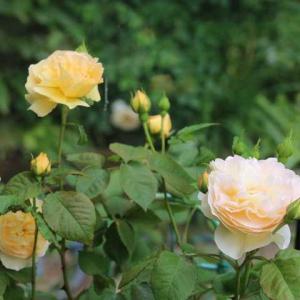 レオマリゾートで買った4株のバラ