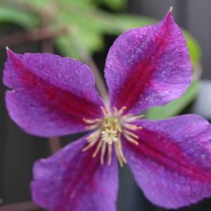 名前がわかったクレマチス、バラの2番花 かおりかざり、メアリーローズ