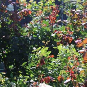 クレマチスの剪定とバラの2番花エンチャンティッドイブニング、ストレンジャー