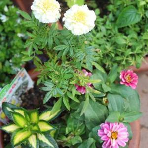 寄せ植えつくりとバラの鉢ましレディエマハミルトン、プシュケ