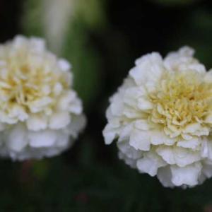 寄せ植えのお花・・・クイーンオブスエーデン、アンブリッジローズ
