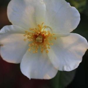 桃の剥きかた、そっくりさんのバラ・・・  ガブリエル、モリニュー、