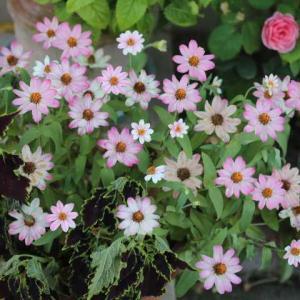 灼熱の庭で咲くバラたち クロードモネ、シンデレラ