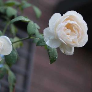 花びらぎっしりのジェフハミルトン、ヴィアンヴニュ