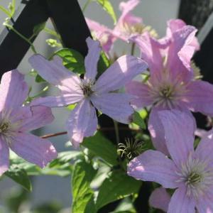 クレマチスが4種類咲いてます ローズジネルシック、メアリーローズ
