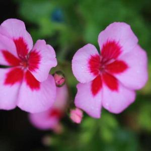 クレマチスとお花、 ヴァグレット、グラハムトーマス