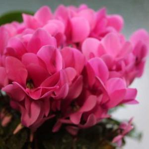 ピンクのシクラメン、 フレンチレース、プリンセスクレアドベルジック