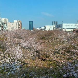 目黒川の葉桜と花筏