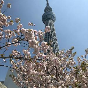 東京スカイツリーと八重桜
