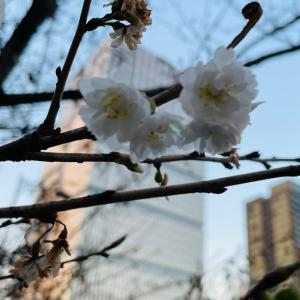 寒桜とホテルニューオータニ