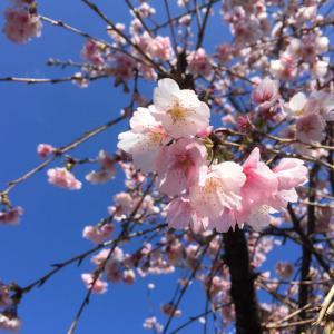 寒桜、満開