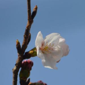 一瞬散歩の桜