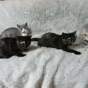オーナー様募集中の子猫たちの最新の画像と動画です!&生後30日のララシェリベビーちゃん!今日から離乳に入りました!
