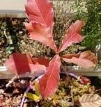 ドングリの葉っぱの紅葉と綿の実☆