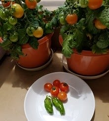 ミニトマトとシシトウ収穫☆