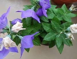 桔梗の花と種
