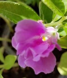 ホウセンカの花 香る