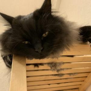 掃除機大好き猫