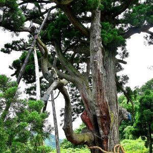 この木なんの木~気になる木ですね~♪(坊金の大杉)